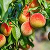 Peach, Nectarine
